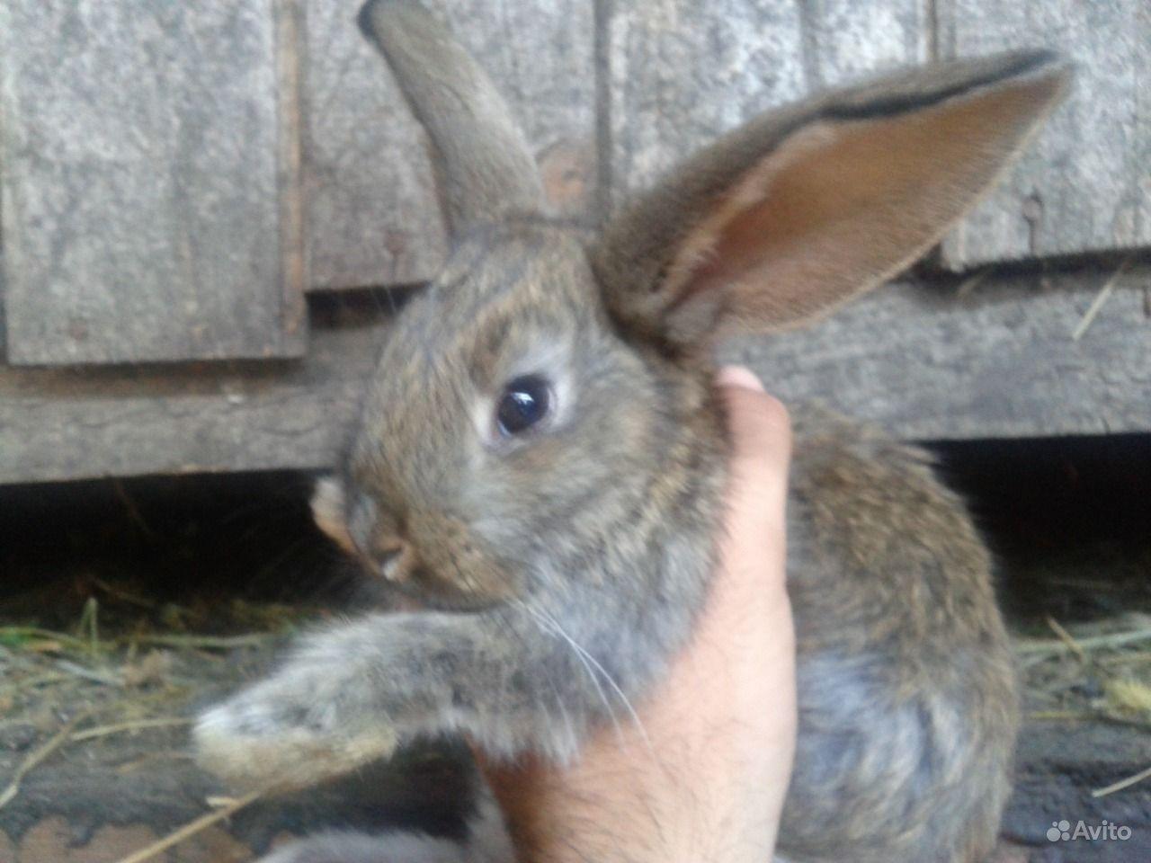 Гигантские кролики
