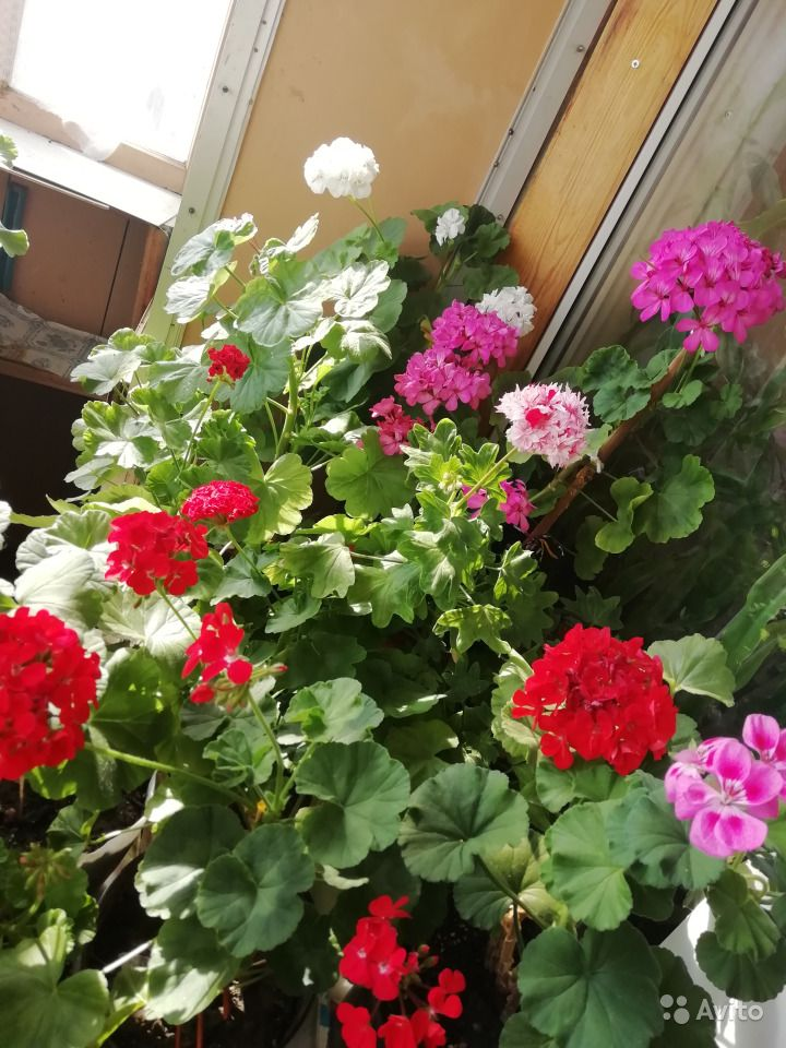 Герань белая, розовая, красная, малиновая купить на Зозу.ру - фотография № 4