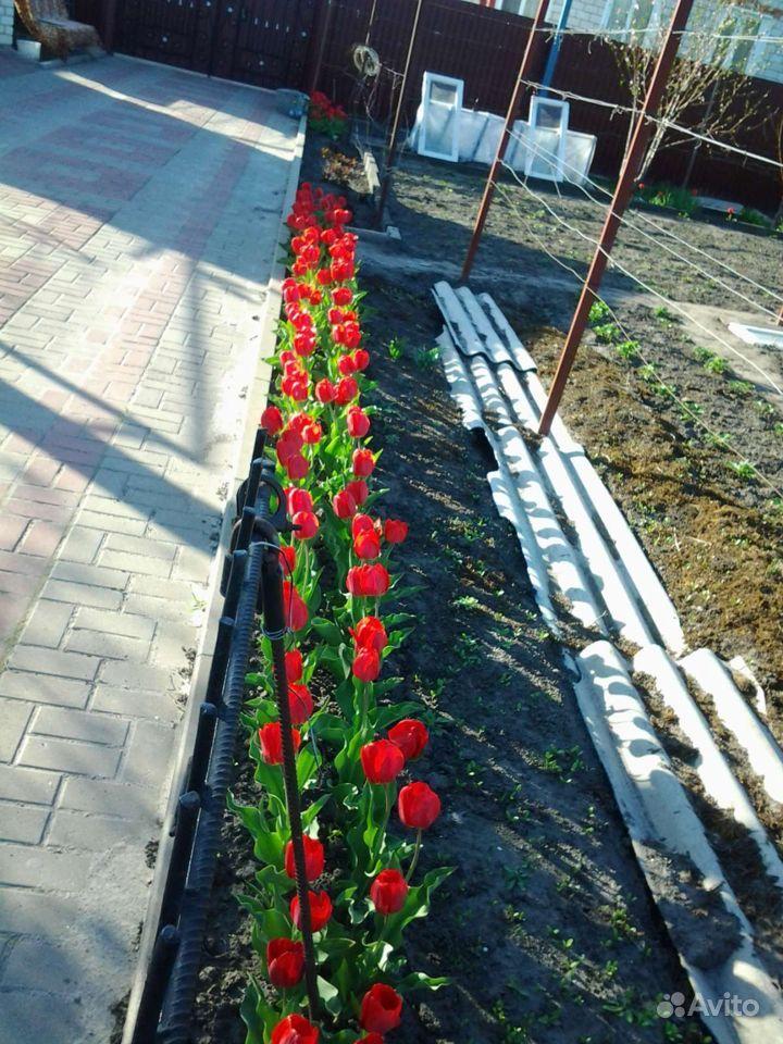 Продаю луковицы тюльпанов купить на Зозу.ру - фотография № 4
