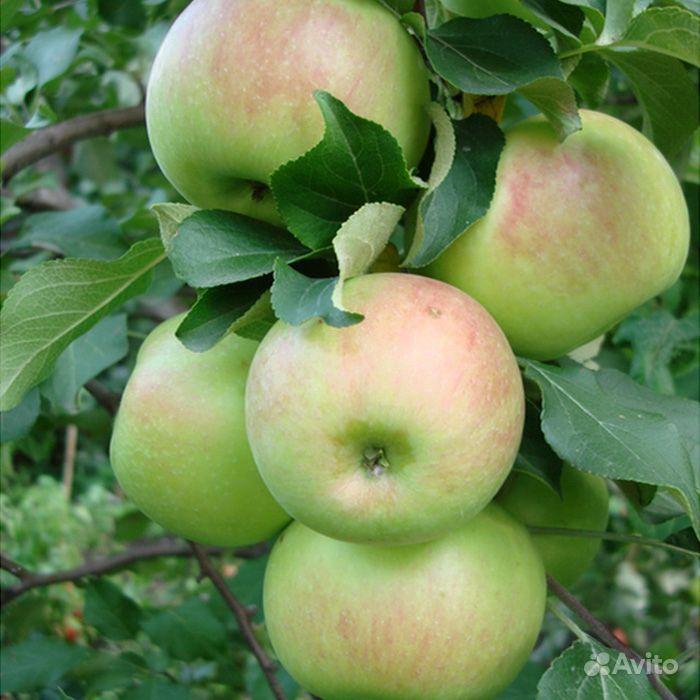 Саженцы яблони Гольден, Симиренко, Белый налив купить на Зозу.ру - фотография № 4