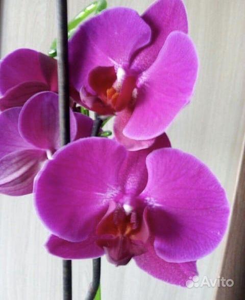 Орхидея фаленопсис купить на Зозу.ру - фотография № 1