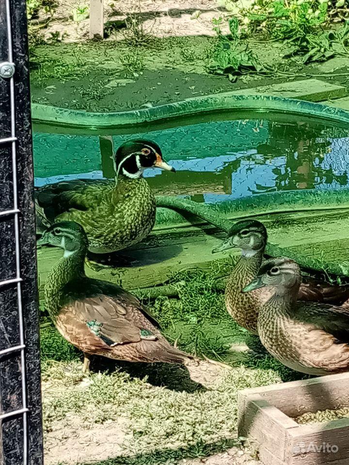 Декоративные утки купить на Зозу.ру - фотография № 4