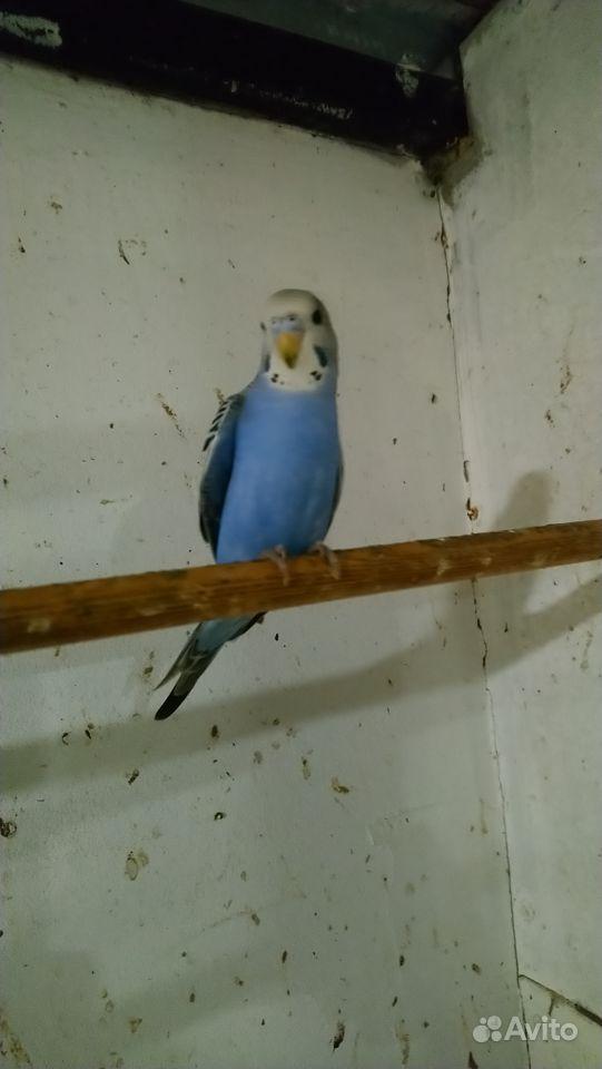 Попугаи кореллы & волнистые купить на Зозу.ру - фотография № 2