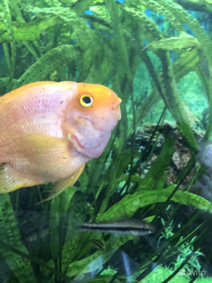 Рыба попугай купить на Зозу.ру - фотография № 7