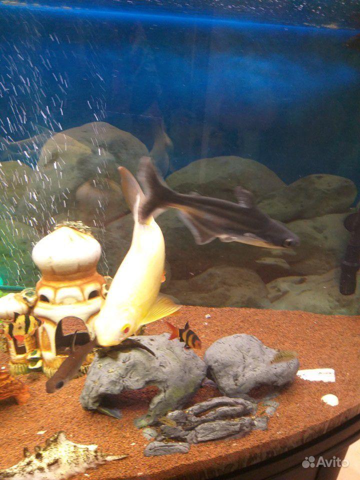 Рыба пангасиус /акулий сом купить на Зозу.ру - фотография № 3