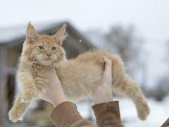 Купить котенка мейн кун в спб и обл частные объявления частные объявления о продаже домов в новосибирске