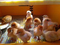 Цыплята, куры, несушки, бройлеры