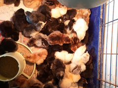 Цыплята от домашних несушек, суточные