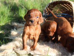 Породистые щенки ирландского сеттера