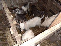 Продаются 3-х месячные козлята