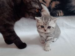 Шотландские котята. Скоттиш - страйт и скоттиш - ф