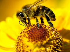 Пчелы на опыление