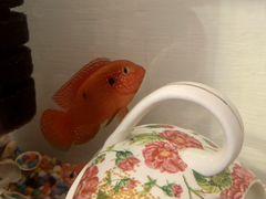 Рыбка аквариумная Хромис