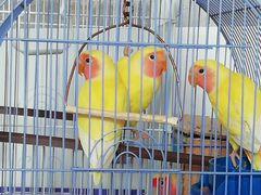 Продам птенцов неразлучника