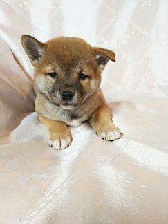 РКФ щенки Шиба ину(Сиба ину) объявление продам