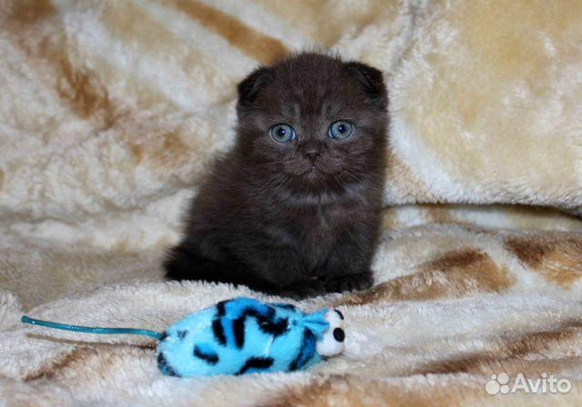 авито британец котенок фото
