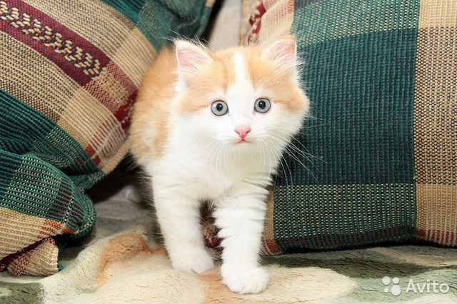 рыжа-белый котёнок фото