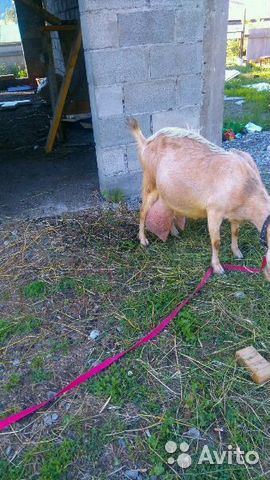 авито.ру продажа коз на алтае