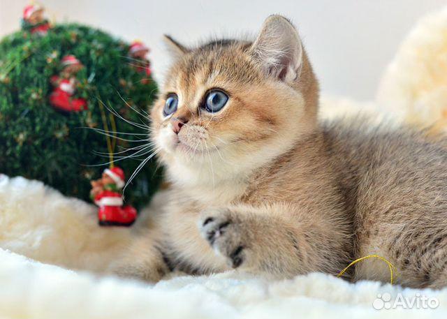 Золотые котята британцы фото