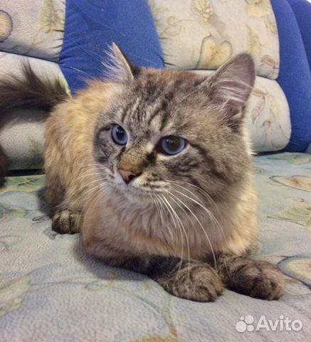 89137249811  Голубоглазый, крупный кот Захар