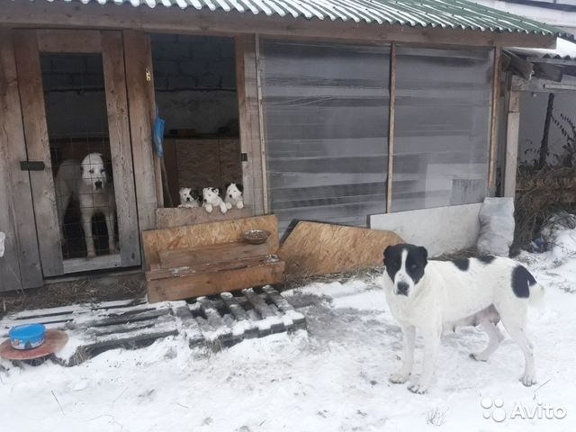 Щенки алабайа купить на Зозу.ру - фотография № 3