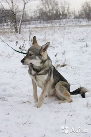 Пёс компаньон в добрые руки купить на Зозу.ру - фотография № 3