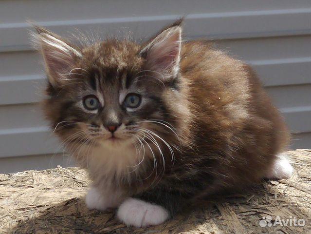 Котята редкой породы норвежская лесная с докум