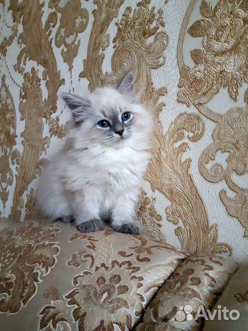 Невские маскарадные котята 89643550551 купить 1