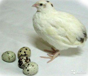 Перепелки,яйца перепелиное
