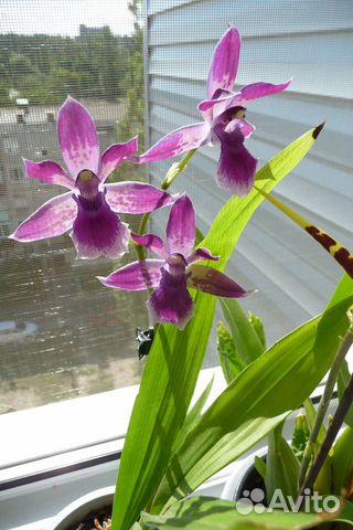 Орхидея зигопеталум (зигонизия)  купить 3