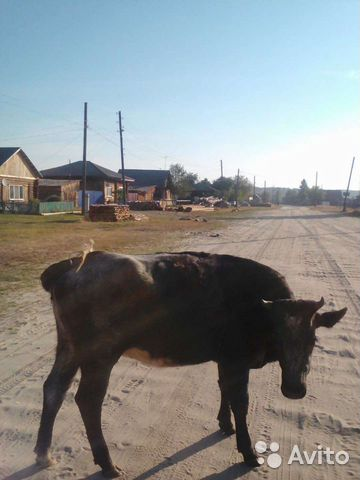 Продам коров  89120629184 купить 2