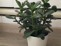 Толстянка — Растения в Екатеринбурге