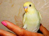 Самец птенец волнистый попугай