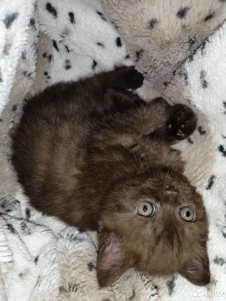 Шотландские котята  89525321477 купить 7