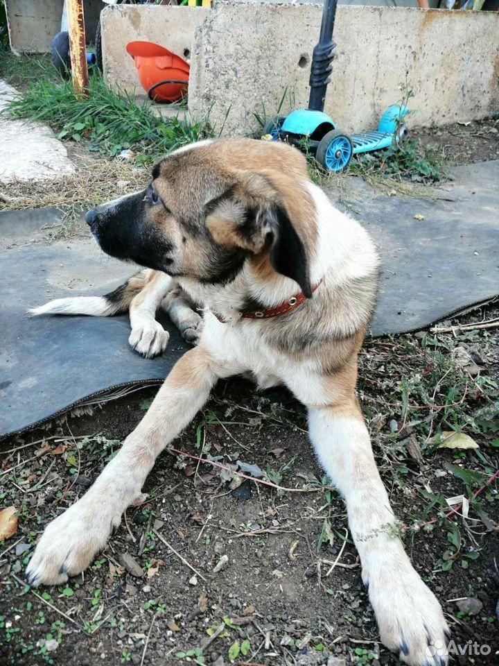 Собака  89058137943 купить 1