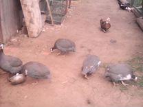 Инкубационное яйцо цесарки, фазана
