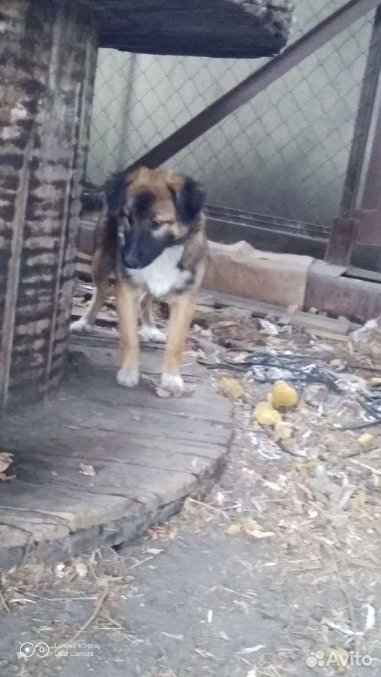 Собака  89088035504 купить 2