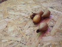 Луковицы крокусов и галантусов