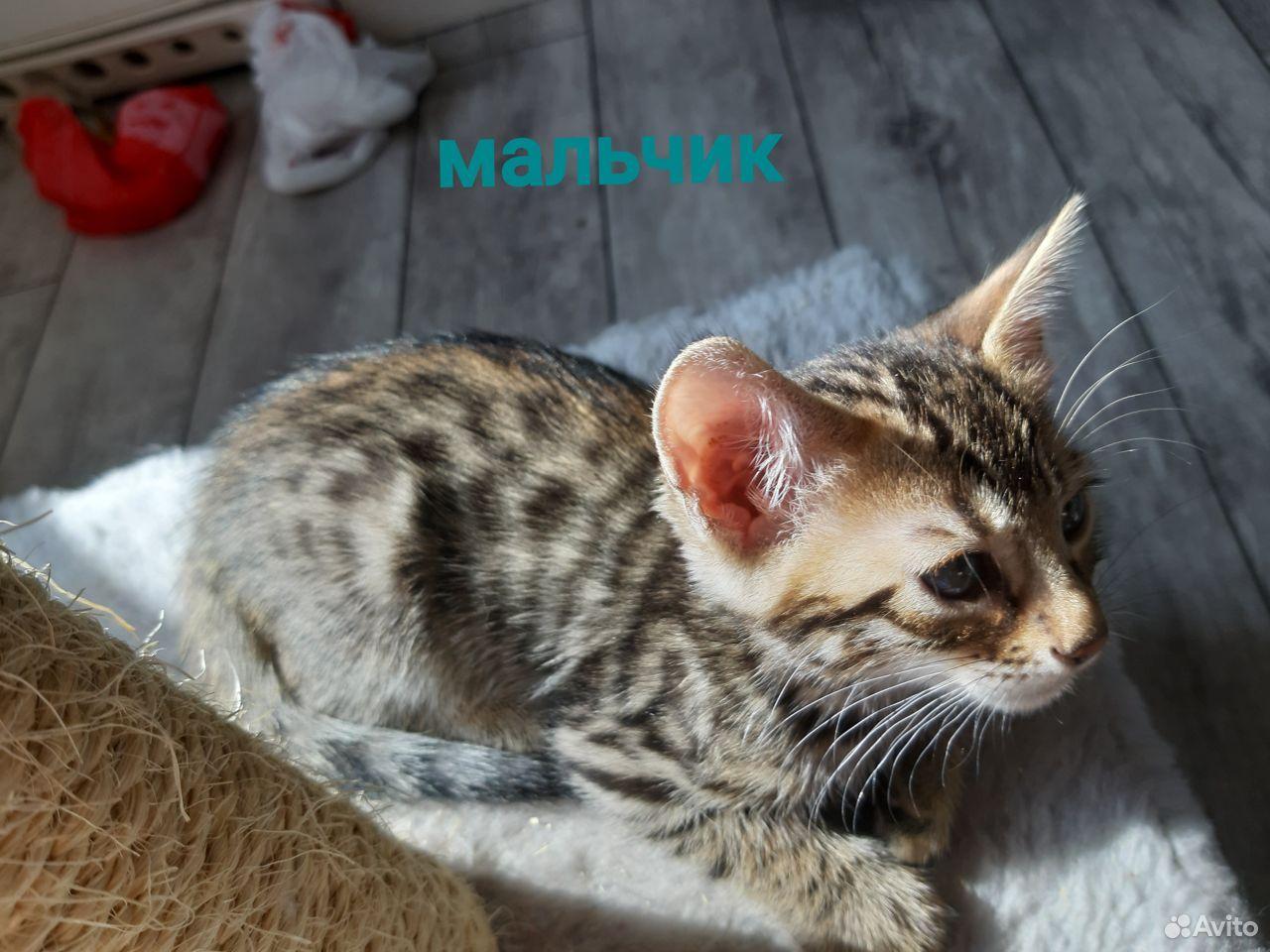 Бенгальские котята  89173097107 купить 3