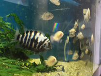 Цихлазома фламинго,чернополосатая рыбки